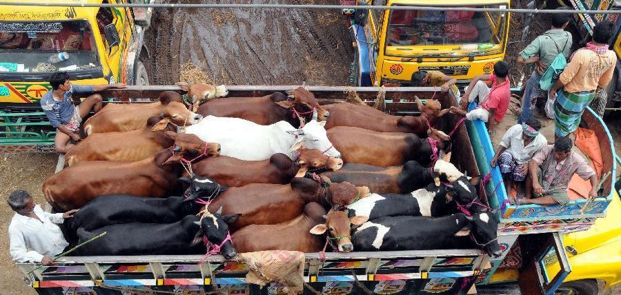 eid-cattle