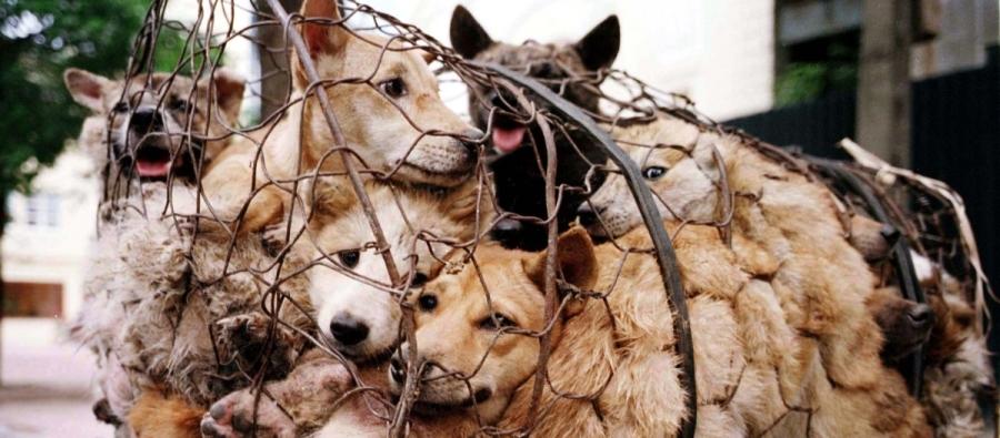 yulin-dog-meat-festival