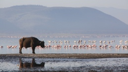 A buffalo & a group of flamingos