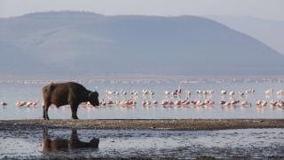 A buffalo & a group of flamingos