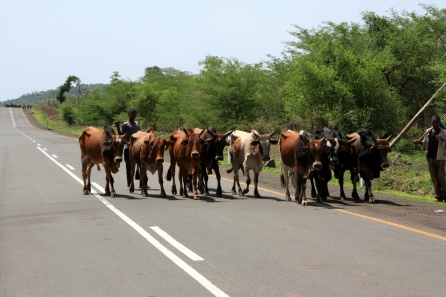 Cattle on the highway