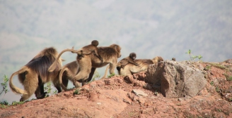 Simien Mountains monkeys