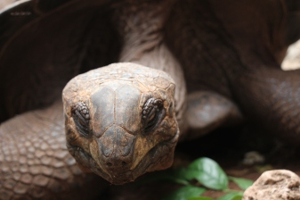 Giant tortoise on Changuu Island in Tanzania