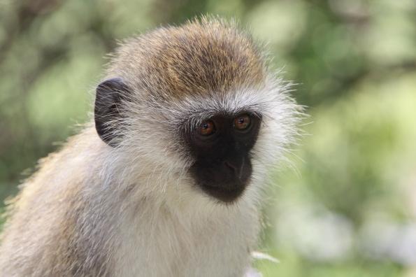 Monkey at Tarangire National Park in Tanzania
