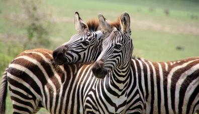 Zebras at Tarangire National Park in Tanzania