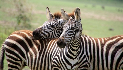 Zebras at Tarangire National Park in Tanzania